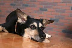 Cão com o queixo que descansa no assoalho que olha comprimido Foto de Stock Royalty Free