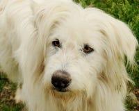 Cão com olhar inteligente Fotos de Stock Royalty Free
