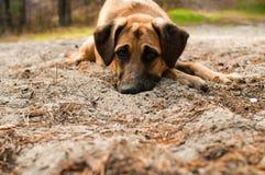 Cão com olhos tristes Imagens de Stock Royalty Free