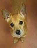 Cão com os olhos grandes que olham o Fotografia de Stock Royalty Free