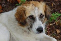 Cão com os olhos marrons que sentam-se no gramado no jardim Foto de Stock