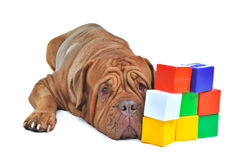 Cão com os tijolos coloridos do cubo imagens de stock royalty free
