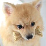 Cão com osso Imagens de Stock Royalty Free