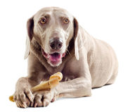 Cão com osso imagem de stock royalty free