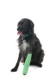 Cão com pé quebrado Foto de Stock