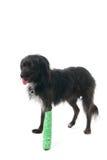 Cão com pé quebrado Imagem de Stock
