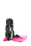 Cão com pé quebrado Foto de Stock Royalty Free