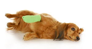 Cão com pata ferida Foto de Stock Royalty Free