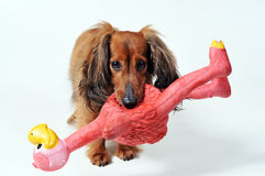 Cão com playtoy Fotografia de Stock Royalty Free