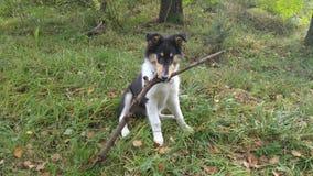 Cão com ramo Collie Nature Outside Fotos de Stock Royalty Free