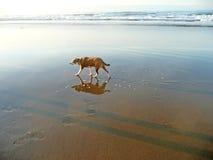Cão com reflexões Imagens de Stock