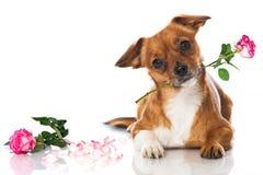 Cão com rosas fotos de stock royalty free