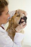 Cão com seu veterinário Imagem de Stock Royalty Free