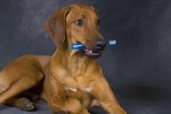 Cão com toothbrush Imagens de Stock Royalty Free