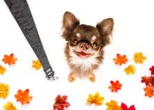 Cão com a trela que espera uma caminhada foto de stock royalty free