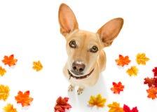 Cão com a trela que espera uma caminhada fotos de stock royalty free
