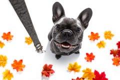 Cão com a trela que espera uma caminhada fotos de stock