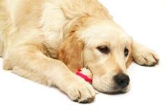 Cão com um brinquedo. Foto de Stock Royalty Free