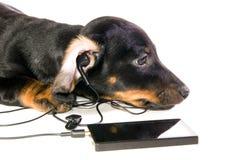 Cão com um jogador mp3 foto de stock