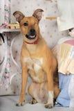 Cão com um só olho Foto de Stock Royalty Free