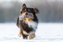 Cão com um saco do deleite na neve Foto de Stock