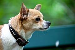 Cão com uma correia agradável imagem de stock