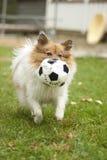 Cão com uma esfera Fotografia de Stock