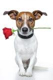 Cão com uma rosa Foto de Stock Royalty Free