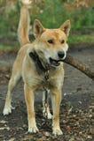 Cão com uma vara em sua boca Imagens de Stock Royalty Free