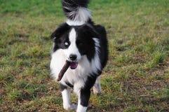 Cão com vara Foto de Stock Royalty Free
