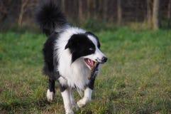 Cão com vara Fotografia de Stock Royalty Free