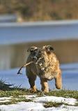 Cão com vara Imagens de Stock Royalty Free