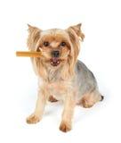 Cão com a vara dental na boca foto de stock