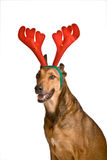 Cão como Rudolf a rena vermelha do nariz Imagem de Stock