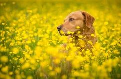 Cão considerável amarelo de Labrador Foto de Stock Royalty Free