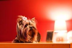 Cão consideravelmente pequeno Foto de Stock Royalty Free