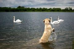 Cão contra cisnes Fotos de Stock