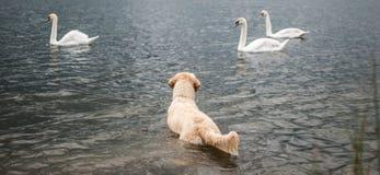 Cão contra cisnes Fotos de Stock Royalty Free