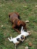 Cão contra o gato Imagens de Stock Royalty Free