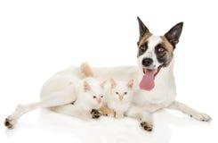 Cão crescido com dois gatinhos No fundo branco imagem de stock