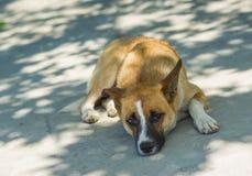 Cão crimeano que encontra-se sob a sombra da árvore Imagens de Stock Royalty Free