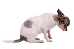 Cão culpado da chihuahua foto de stock