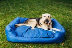 Cão culpado em sua cama, fundo da grama verde fotos de stock royalty free