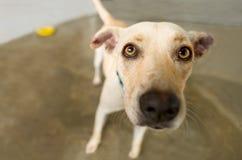 Cão curioso Fotos de Stock Royalty Free