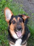 Cão curioso Fotos de Stock