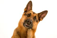 Cão curioso Fotografia de Stock
