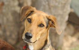 Cão curioso Imagem de Stock