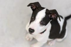 Cão curioso Imagens de Stock Royalty Free