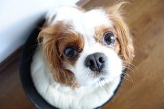 Cão curioso Fotografia de Stock Royalty Free