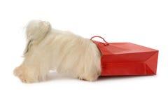 Cão curioso de Havanese Foto de Stock